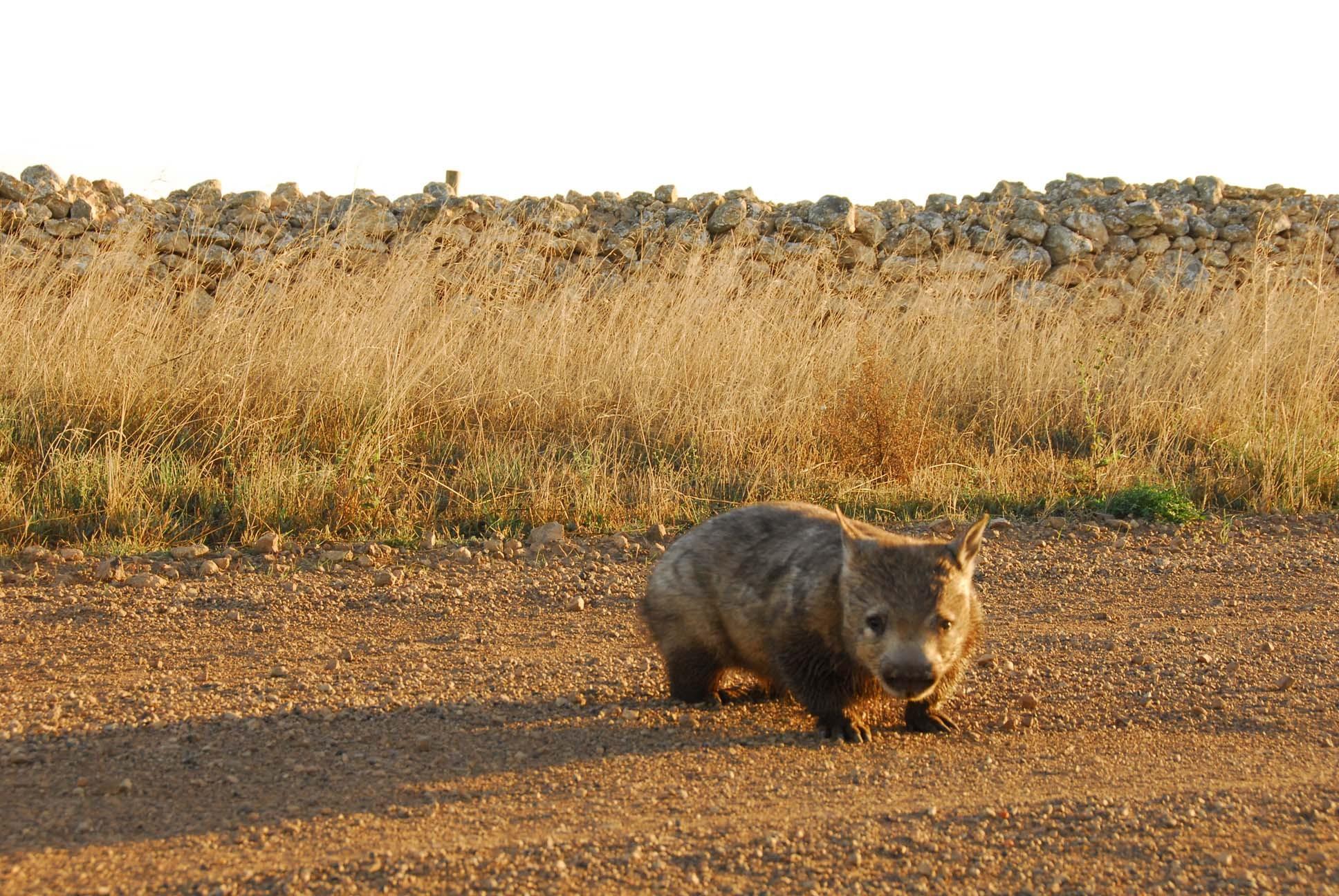 Wombat1_lores
